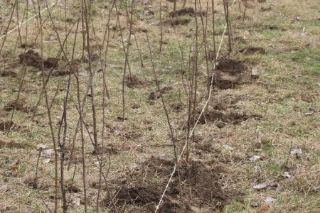 pomi plantare