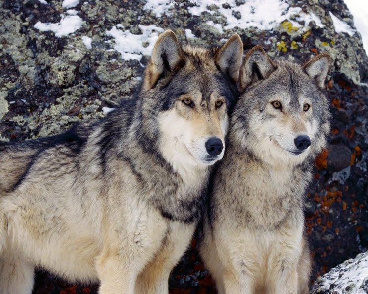 Câţi urşi, lupi şi râşi mai există în păduri