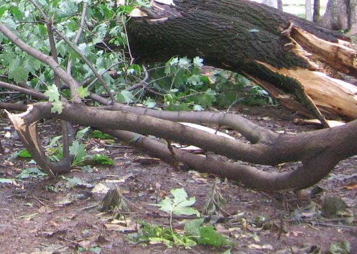 Copaci doborâți de furtună în Roman, după ploaia de luni seară