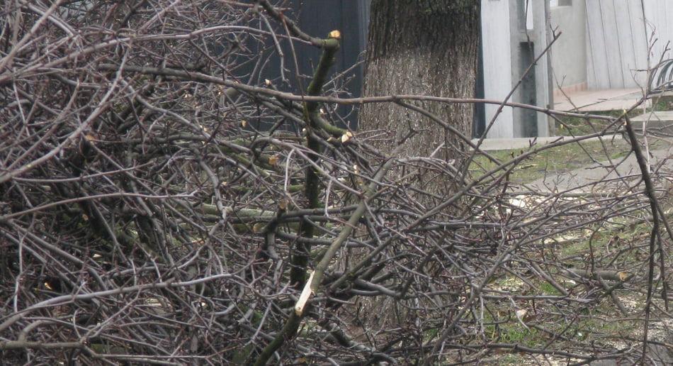 Primarul Romanului spune că nu se mai taie arbori, doar se toaletează