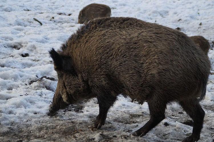 Măsuri pentru prevenirea răspândirii pestei porcine africane în județ