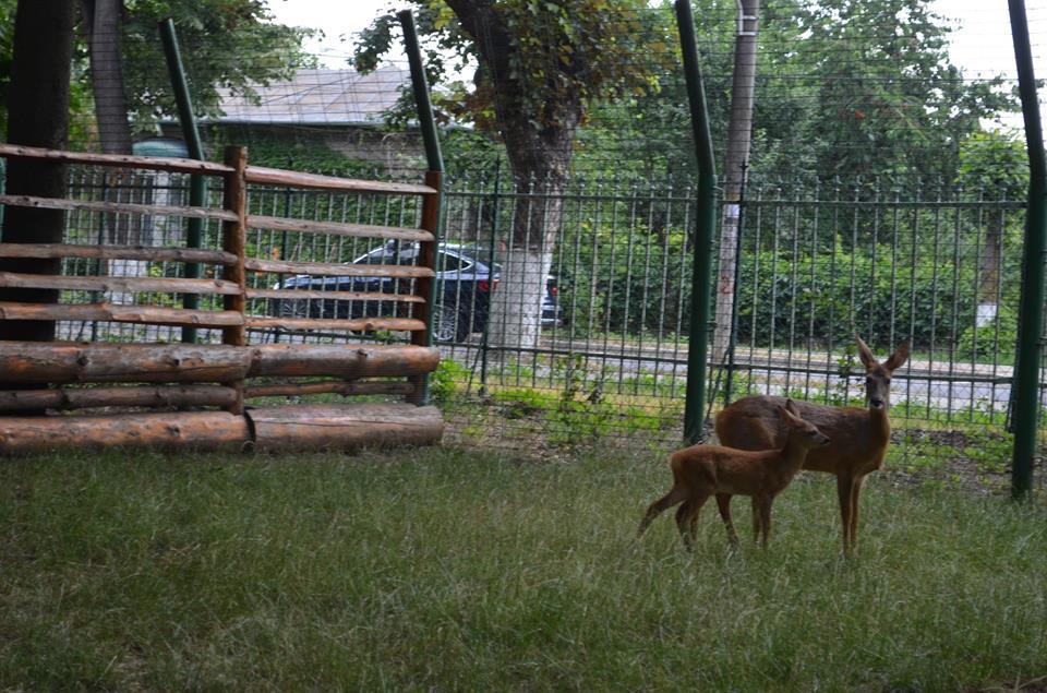 Primul pui de căprioară născut în Parcul Municipal a primit un nume