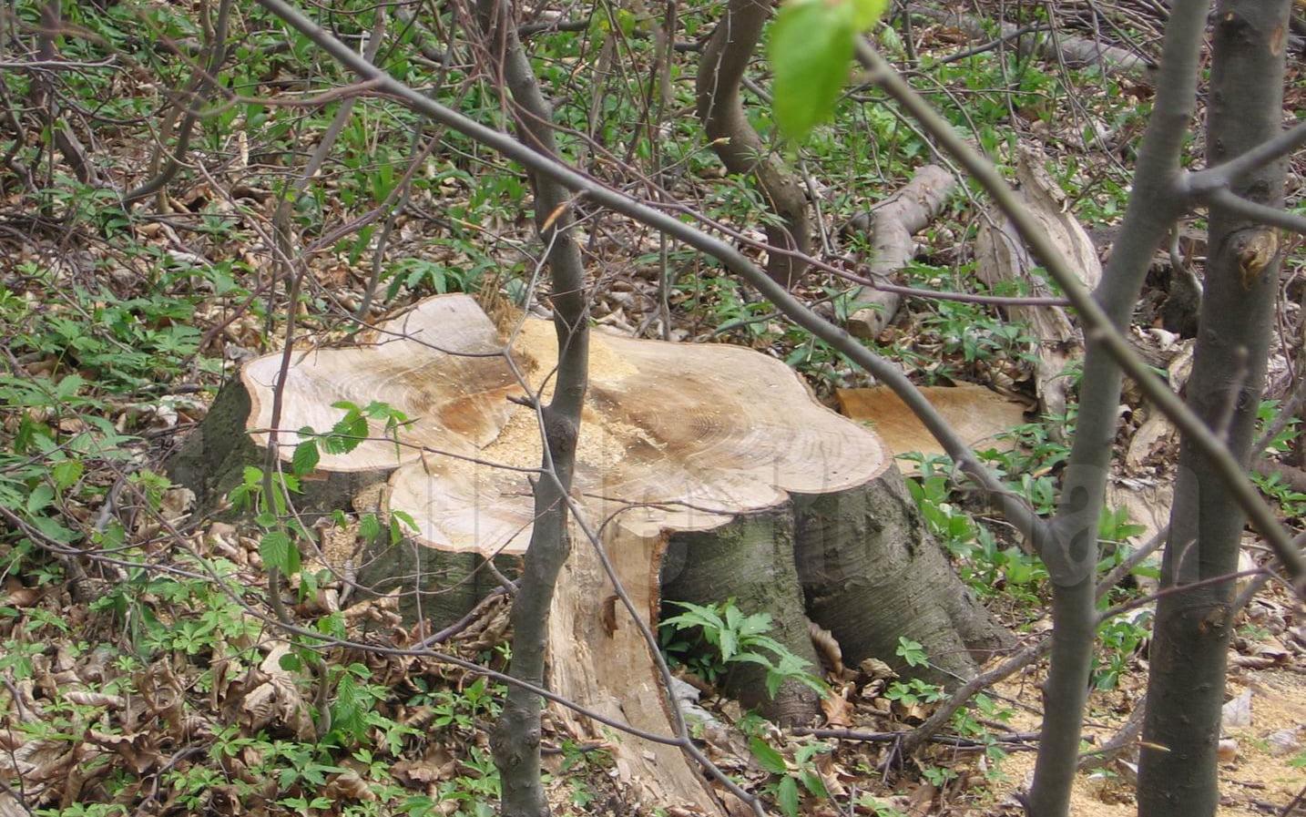 A fost aprobat noul Cod Silvic. Furtul de arbori va intra direct sub incidență penală