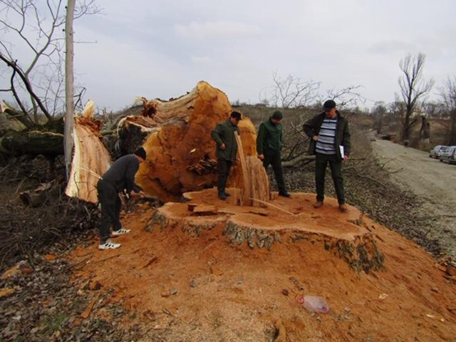 Arbori seculari tăiați ilegal la Gâdinți