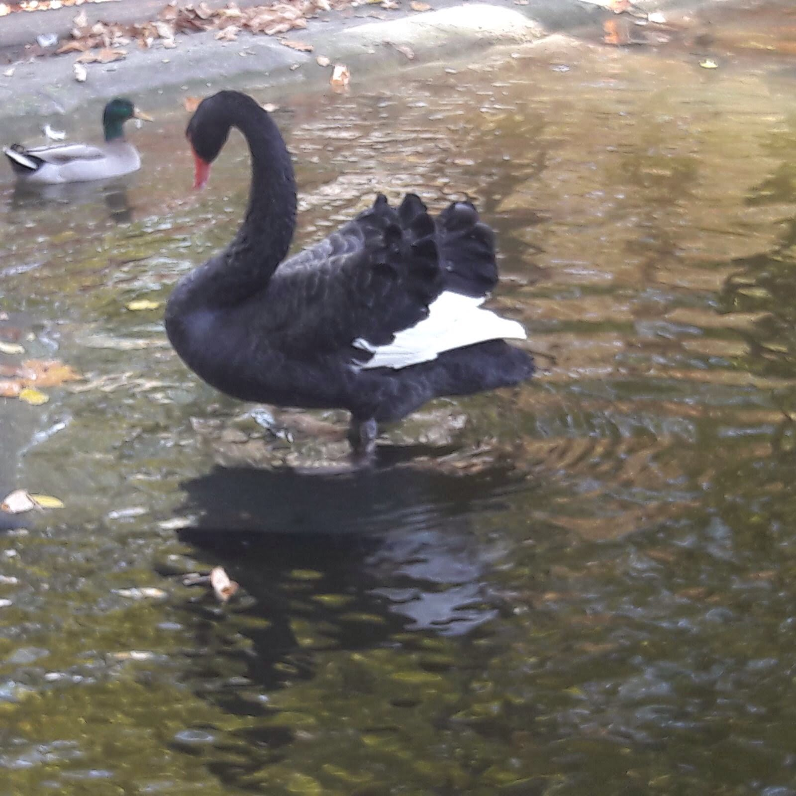 O lebădă nouă pe lacul din Parc