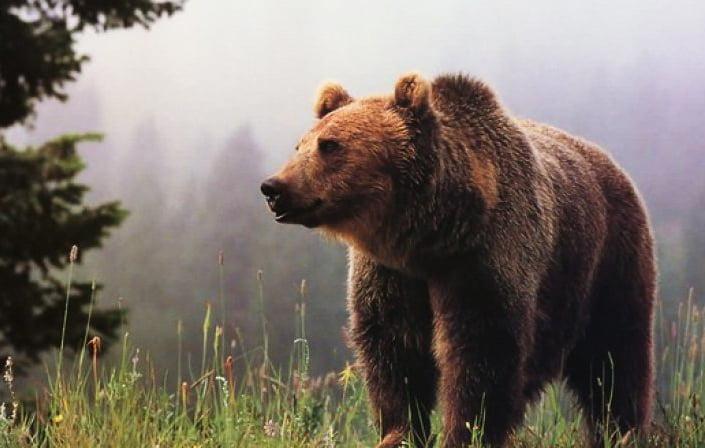 Ședință de urgență a autorităților, după ce un urs a fost văzut lângă gospodăriile din Tarcău